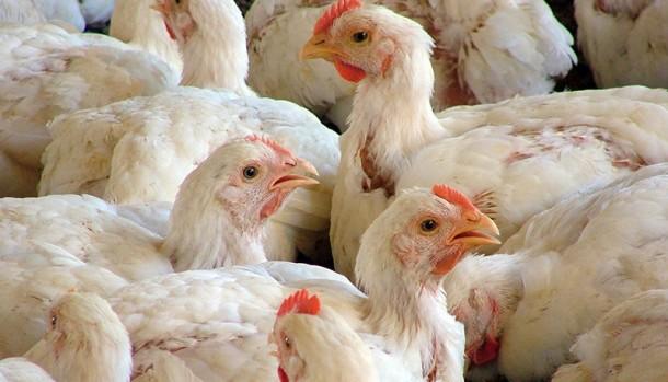O frango, a exemplo do boi, terá um bom desempenho este ano no mercado